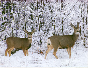 A pair of mule deer standing in snow
