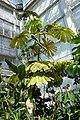 Musanga cecropioides-Jardin botanique Meise (2).jpg