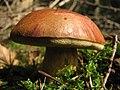 Mushroom-IMG 3203.JPG