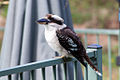 My favorite Australian bird Laughing Kookaburra (6932198824).jpg