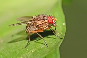 Muscidae - Image: Mydaeinae, Muscidae