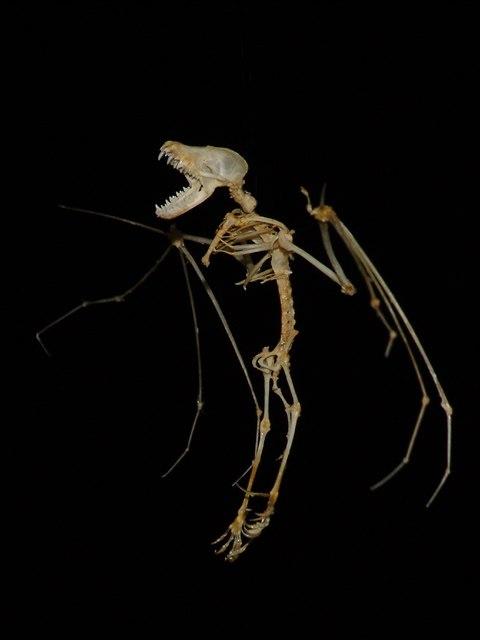 Myotis-myotis-skeleton
