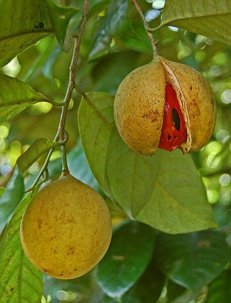buah pala yang memecah | wikipedia