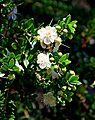 Myrtus communis subsp. tarentina005.JPG