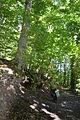 Národná prírodná rezervácia Šomoška - Buk lesný.jpg