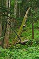 Národná prírodná rezervácia Stužica, Národný park Poloniny.jpg