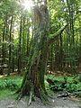 NP Jasmund, kmen stromu.JPG