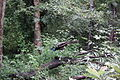 Nagarhole National Park, Kodagu 6973.JPG