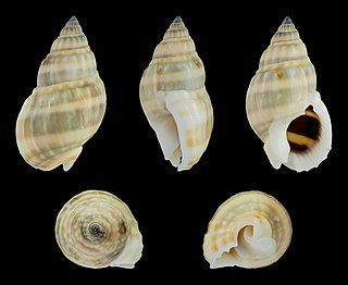 <i>Nassarius distortus</i> Species of gastropod