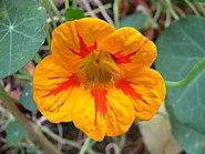 Nasturtium tropaeolum flores
