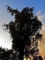 Naturdenkmal - die Silberpappel im Wiener 20.Bezirk 1.jpg