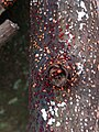 Nectria cinnabarina 111276078.jpg
