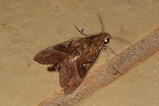 <i>Nephele densoi</i> species of insect