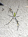Nephila-clavata-female-sevenlegs-Enoshima-2.jpg