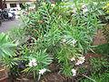 Nerium oleander - അരളി 03.JPG