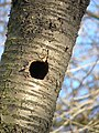 Nest of Great Spotted Woodpecker.jpg