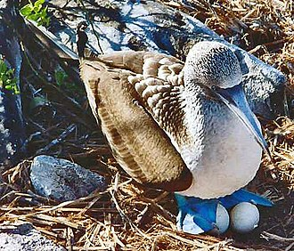 Sulidae - A blue-footed booby (Sula nebouxii) incubating its eggs