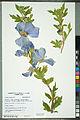 Neuchâtel Herbarium - Hibiscus syriacus - NEU000092644.jpg
