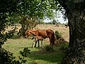 New Forest Ponies - geograph.org.uk - 73985.jpg