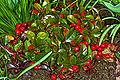 Niedere Scheinbeere (Gaultheria procumbens) 2853.jpg