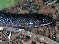 Night Brook Snake (Pseudoxyrhopus heterurus) (7623780642).jpg