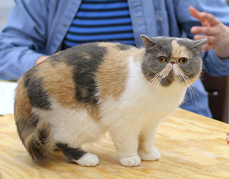 Cephalic index - An Exotic Shorthair