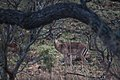 Nkomazi Game Reserve, South Africa (22663933961).jpg