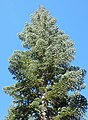 Noble fir, Diamond Peak Wilderness, Oregon.jpg
