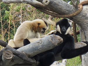 Wildlife of China - A female northern white-cheeked gibbon grooming a male.