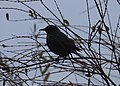Noordwijk - Turdus merula sitting in a tree.jpg