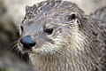 North American River Otter - CNP 3361 (7056954311).jpg