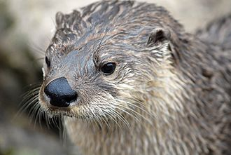 North American river otter - North American River Otter at the River dart