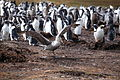 Northern Giant Petrel walks by a Gentoo Penguin colony (5751686244).jpg