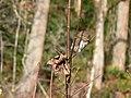 Northern pygmy owl (836090f278b44a4190c75d9e6b99740e).JPG