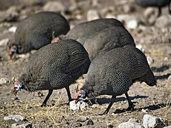 Helmeted Guineafowl from Namibia.