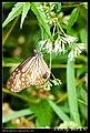 Nymphalidae (4871567653).jpg