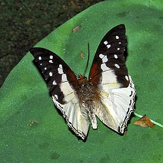 Bộ sưu tập cánh vẩy 4 - Page 22 330px-Nymphalidae_-_Charaxes_hadrianus