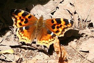 Nymphalis vaualbum - Nymphalis vaualbum, Compton Tortoiseshell butterfly seen in Bruce, WI