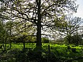 Oak Tree at Upper Church Farm - geograph.org.uk - 5960.jpg