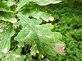 Oak leaf (14393942307).jpg
