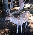 Oakland Deer.jpg