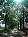 Oaks along McKeldin Mall - panoramio.jpg