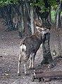 Obroshyne Deer DSC 0281 46-236-5005.JPG