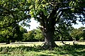 Old Oaks, Hatfield Forest - geograph.org.uk - 305666.jpg