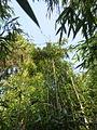 Oligostachyum sulcatum au jardin jungle.JPG