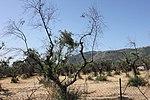 Olive Trees (Latina) in 2018.06.jpg