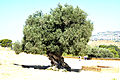 Olive tree - Valley of the Temples - Agrigento, Sicily - Italy - 18 July 2010.jpg
