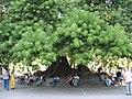 Ombu del Parque Rivadavia.jpg