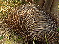 Onkapringa River NP echidna under an olive tree P1000599.jpg
