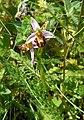 Ophrys apifera dans le Vexin 01.jpg